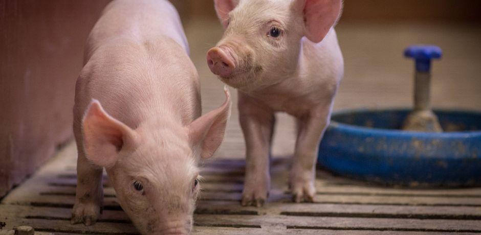 Filière Porcs - Sanders Euralis